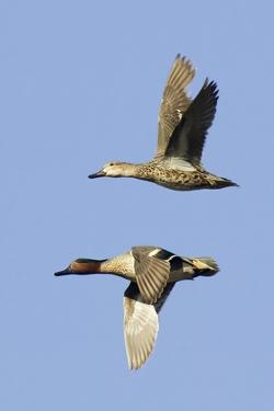 Pair of Green-Winged Teals Flying by Hal Beral