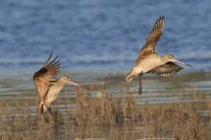 Pair of Marbled Godwits Landng by Hal Beral