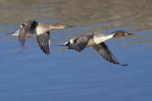 Pair of Northern Pintails in Flight by Hal Beral