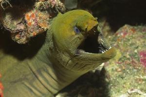 Panamic Green Moray Eel Showing it's Teeth by Hal Beral