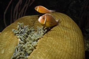 Pink Anemonefish in Magnificant Sea Anemone by Hal Beral