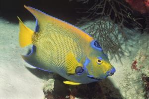 Queen Angelfish by Hal Beral