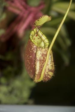 Raffle's Pitcher Plant by Hal Beral
