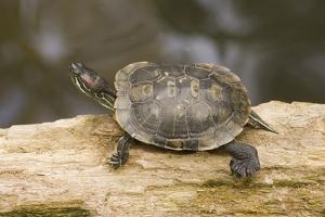 Red Eared Slider Turtle by Hal Beral