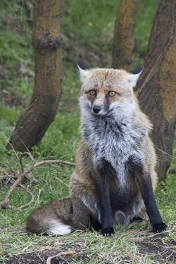 Red Fox by Hal Beral
