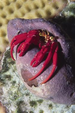Red Reef Hermit Crab by Hal Beral