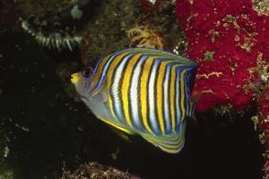 Regal Angelfish by Hal Beral