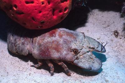 Ridged Slipper Lobster