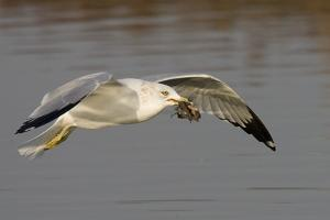 Ring-Billed Gull Flys with a Bat in it's Bill by Hal Beral