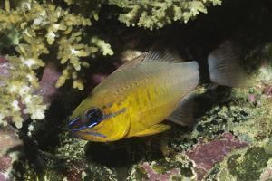 Ringtailed Cardinalfish by Hal Beral