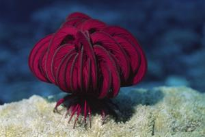 Robusr Feather Star by Hal Beral