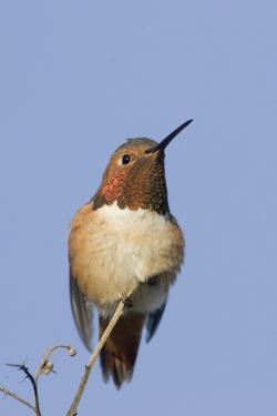 Rufous Hummingbird by Hal Beral