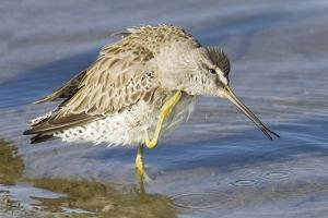 Short-Billed Dowitcher Grooming by Hal Beral