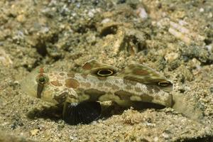 Signal Goby by Hal Beral