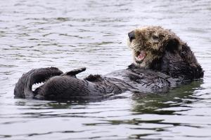 Southern Sea Otter Floats with Paws out of the Water by Hal Beral