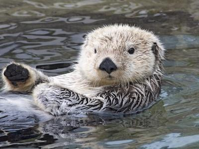 Southern sea otter hold paws up to conserve heat
