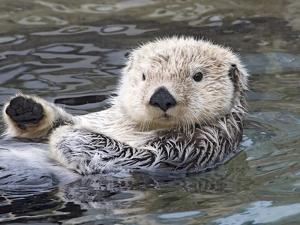 Southern sea otter hold paws up to conserve heat by Hal Beral