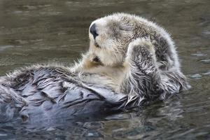 Southern Sea Ottter Floats with Paws out of the Water by Hal Beral