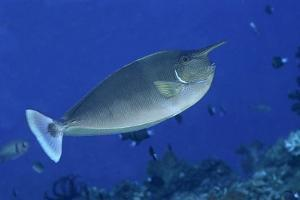 Spotted Unicornfish by Hal Beral