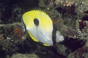 Teardrop Butterflyfish by Hal Beral