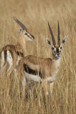 Thomson's Gazelle by Hal Beral