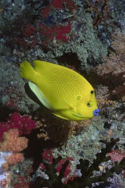 Three-Spot Angelfish by Hal Beral