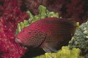 Tomato Grouper Close-Up by Hal Beral