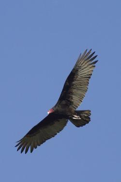 Turkey Vulture in Flight by Hal Beral