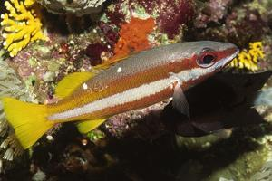 Two-Spot Snapper by Hal Beral