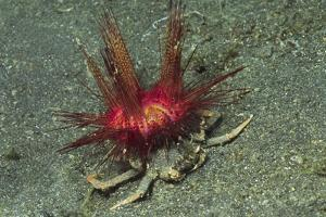 Urchin Carry Crab with Radiant Seas Urchin by Hal Beral