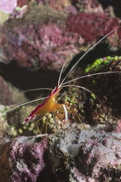 White-Banded Cleaner Shrimp by Hal Beral