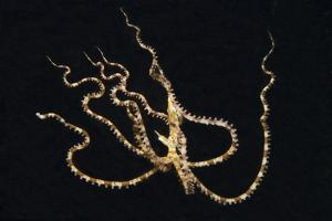 Wunderpus Octopus Swimming at Night by Hal Beral