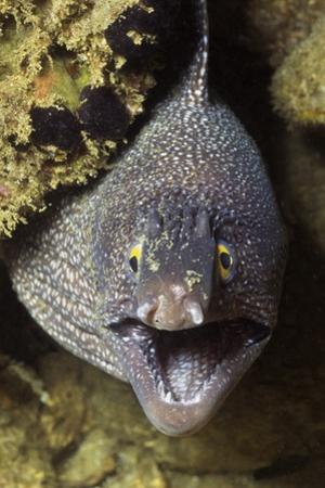 Yellow-Edged Moray Eel