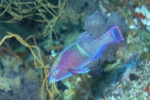 Yellowbar Parrotfish by Hal Beral