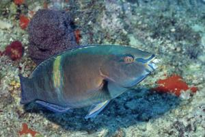 Yellowbar Parrrotfish by Hal Beral