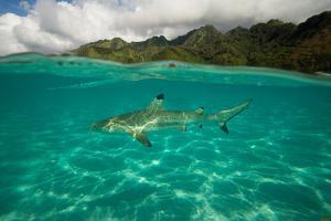 Half Water Half Land, Shark in the Pacific Ocean, Moorea, Tahiti, French Polynesia