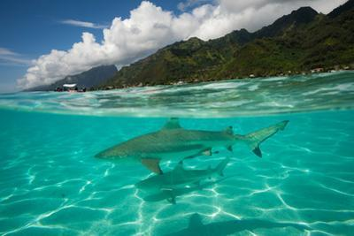 Half Water Half Land, Sharks in the Pacific Ocean, Moorea, Tahiti, French Polynesia