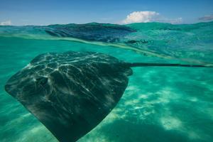 Half Water Half Land, Stingray in the Pacific Ocean, Moorea, Tahiti, French Polynesia