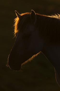 Konik Horse Silhouetted and Backlit at Sunset, Oostvaardersplassen, Netherlands, June 2009 by Hamblin