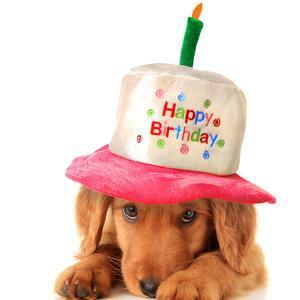 A Golden Retriever Puppy Wearing a Happy Birthday Hat by Hannamariah