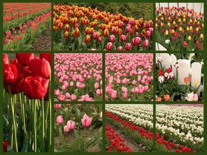 Collage of Spring Flowering Tulips. by Hannamariah
