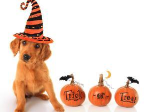 Cute Puppy Wearing a Halloween Witch Hat with Pumpkins by Hannamariah
