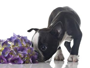 Funny Boston Terrier Puppy Sniffing Flowers. by Hannamariah