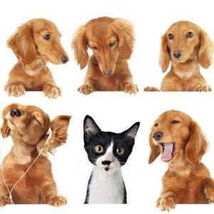 Funny Kitten Surrounded by Dogs. by Hannamariah