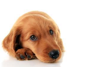 Irish Setter Puppy Isolated on White. by Hannamariah