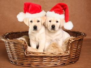 Two Yellow Lab Christmas Puppies Wearing Santa Hats by Hannamariah