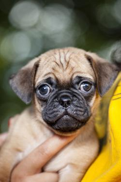 Extreme Close Up of a Pug Puppy Being Held by a Girl Against Her Chest Who's Wearing a T-Shirt by Hannele Lahti