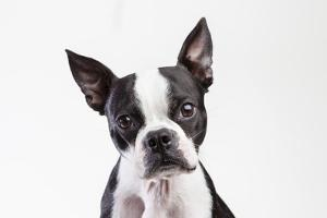 Portrait of a Boston Terrier Against a White Background by Hannele Lahti