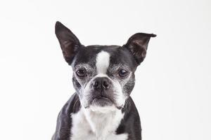 Portrait of an Older Boston Terrier Against a White Background by Hannele Lahti