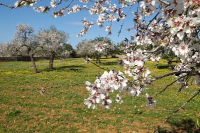 Almond blossom time, Majorca, Balearic Islands, Spain, Europe by Hans-Peter Merten